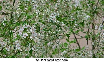 Bird-cherry tree twigs covered with small white flowers...