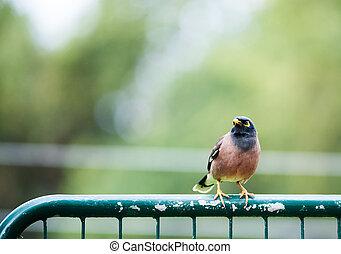 bird Common Myna sitting on a fence