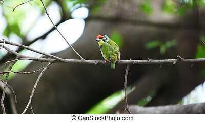 Bird (Coppersmith barbet) in a wild
