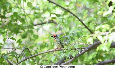 Bird (Coppersmith barbet) on tree in a nature wild - Bird...