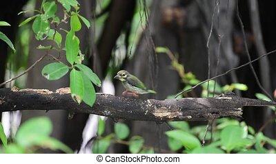 Bird (Coppersmith barbet) on tree in a nature wild - Bird...