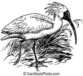Bird Crested Ibis