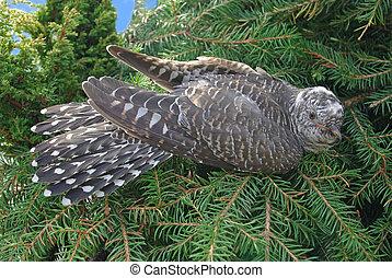 bird., cuco, canorus)., arriba, (cuculus, retrato, cierre, escondido, ordinario