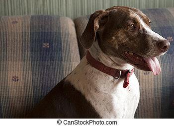 Bird Dog Indoors - Bird dog sitting indoors on couch
