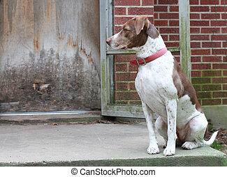Bird Dog Waiting by the Backdoor - Bird dog waiting to go ...
