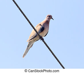 bird dove on the electric wire
