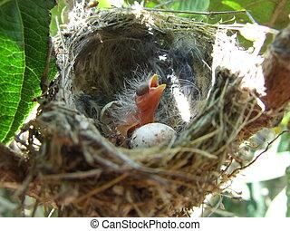 bird., el nido, pajaro, födelse