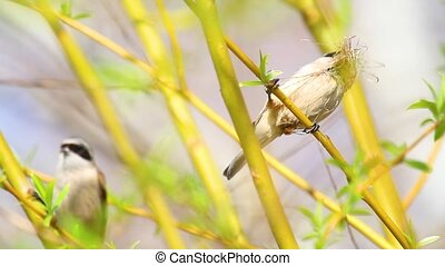 bird (Eurasian penduline tit) collects material for the...