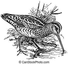 Bird Eurasian Woodcock