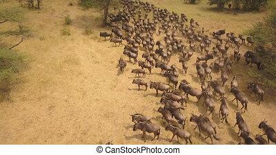 Aerial View of Wildebeest aka Gnu Huge Herd in Migration, Running on Grassland