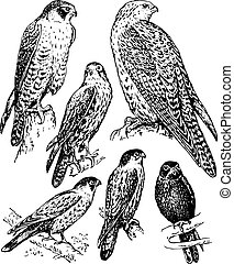 Bird falcon - Some birds falcon sitting on the branches...