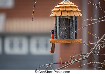 Northern Cardinal - Bird feeder in spring with male Northern...