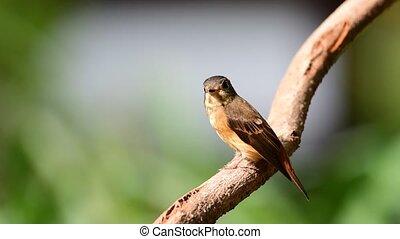 Bird (Ferruginous Flycatcher) in nature wild - Bird...