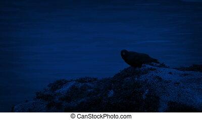 Bird Flies Off Rocks By The Water At Night - Bird flies off...