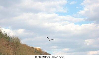 Bird flying near a hill. Seagull in the sky.