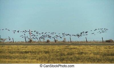 Bird formation - A flock of birds flying in formation