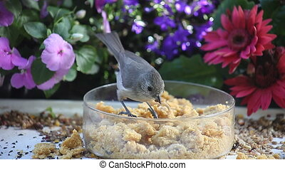 bird gathers worms - a tufted titmouse picks up several...