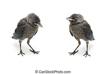 bird gray jackdaw isolated on white background