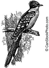 Bird Great Spotted Cuckoo