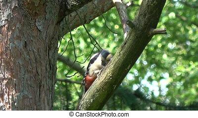 Great spotted woodpecker in summer pine tree