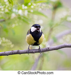 Bird great tit sing on a branch