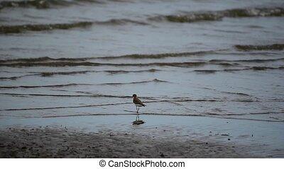 Bird (Greater sand plover) in nature wild - Bird (Greater...