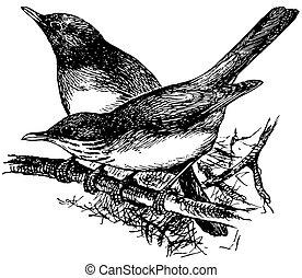 Bird Grey-backed Thrush