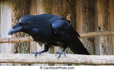 bird., groot, mythologisch, black , tak, populair, closeup, raaf