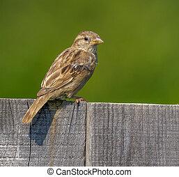 Bird house sparrow on a fence