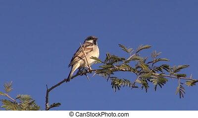 bird house sparrow on branch