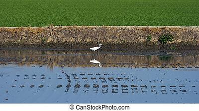 bird in a flooded rice crop - white heron in a rice crop,...