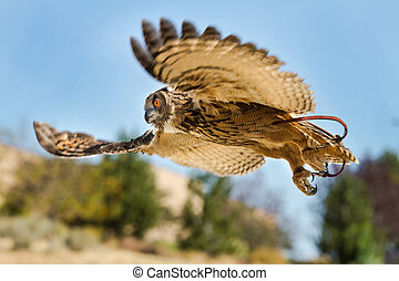 Bird in flight on the hunt - Eurasian eagle owl With wings...