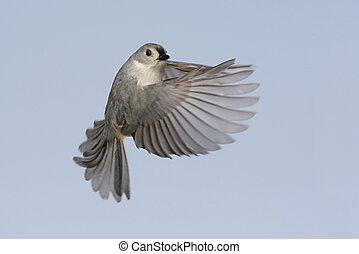 Bird In Flight - Tufted Titmouse (baeolophus bicolor) in...