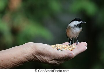 a chickadee eating food from a hand