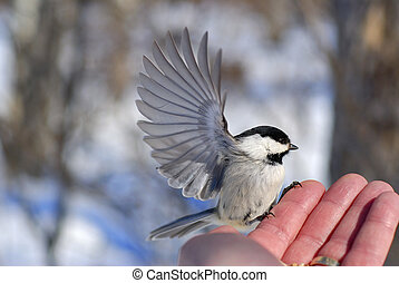 Black-capped Chickadee (Poecile atricapillus) with wings outstretched, preparing to fly away from man's hand.