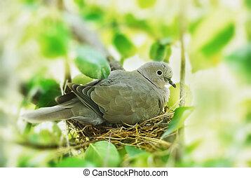 bird in the nest - dove, bird in the family nest, home