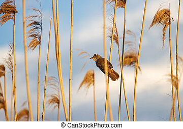 bird in the sunset rays of the sun sits on a reed
