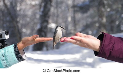 Bird in women's hand eat seeds - Nuthatch bird in women's...