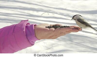 Bird in women's hand eat seeds - Titmouse bird in women's...