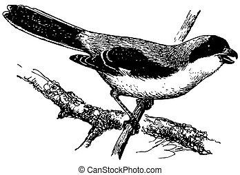 Bird Lesser Grey Shrike
