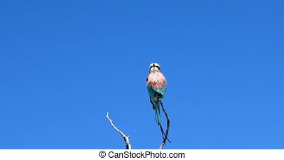 Bird Lilac-brested roller, africa safari and wildlife -...
