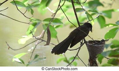Bird (Malaysian Pied Fantail) feeding baby bird - Bird...
