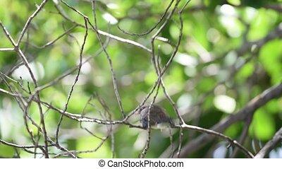 Bird (Malaysian Pied Fantail) in a nature wild - Bird...