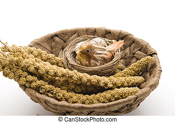 Bird millet in the phloem basket