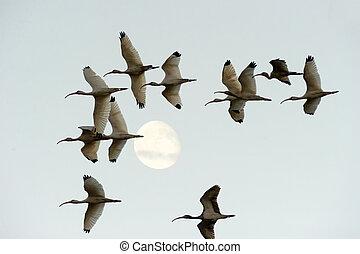 Bird Moon Flock Migration