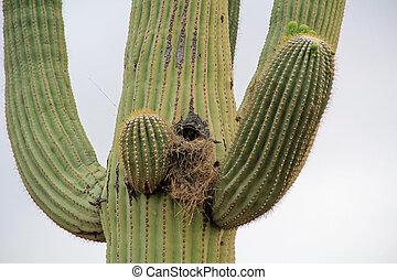 Bird Nest in a Saguaro Cactus Against White Sky