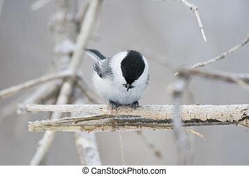 Bird Nuthatch sits on a branch