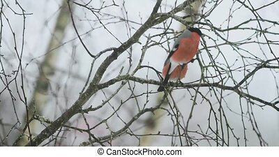 Bird of bullfinch on the branches of mountain ash in winter.