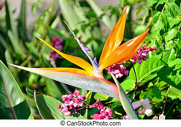 Bird of Paradise Blooming - A Bird of Paradise in bloom