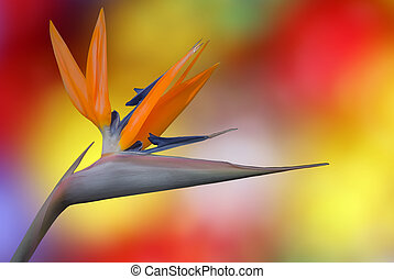 Bird of Paradise tropical flower on colourful background